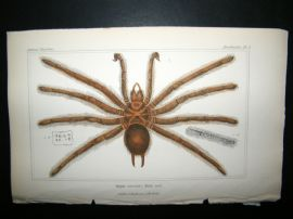 Cuvier C1835 Antique Hand Col Print. Spiders #2A